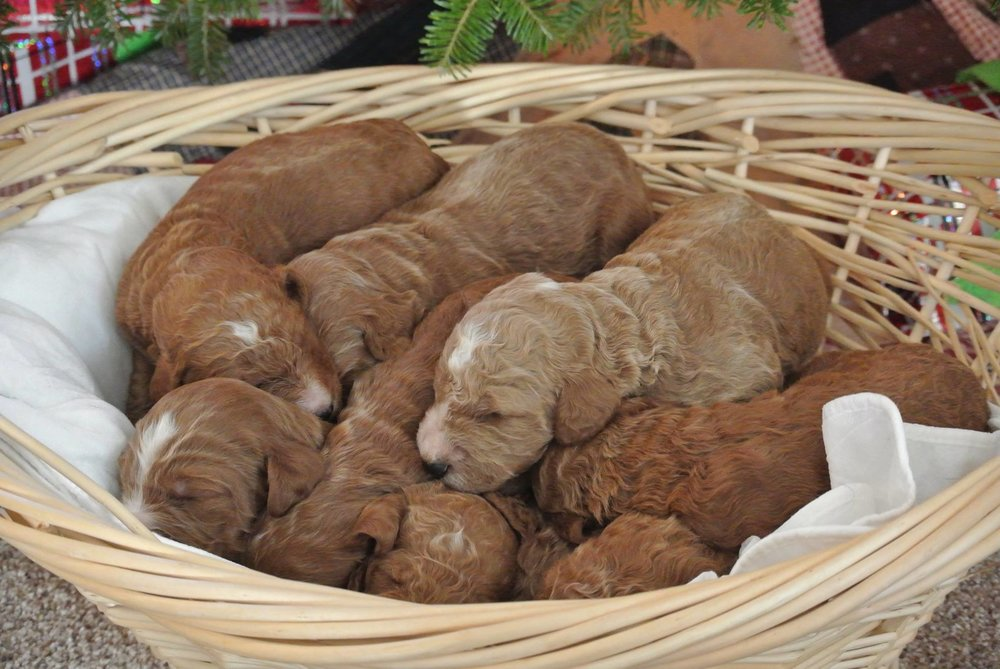 Irishdoodles-in-basket.jpg