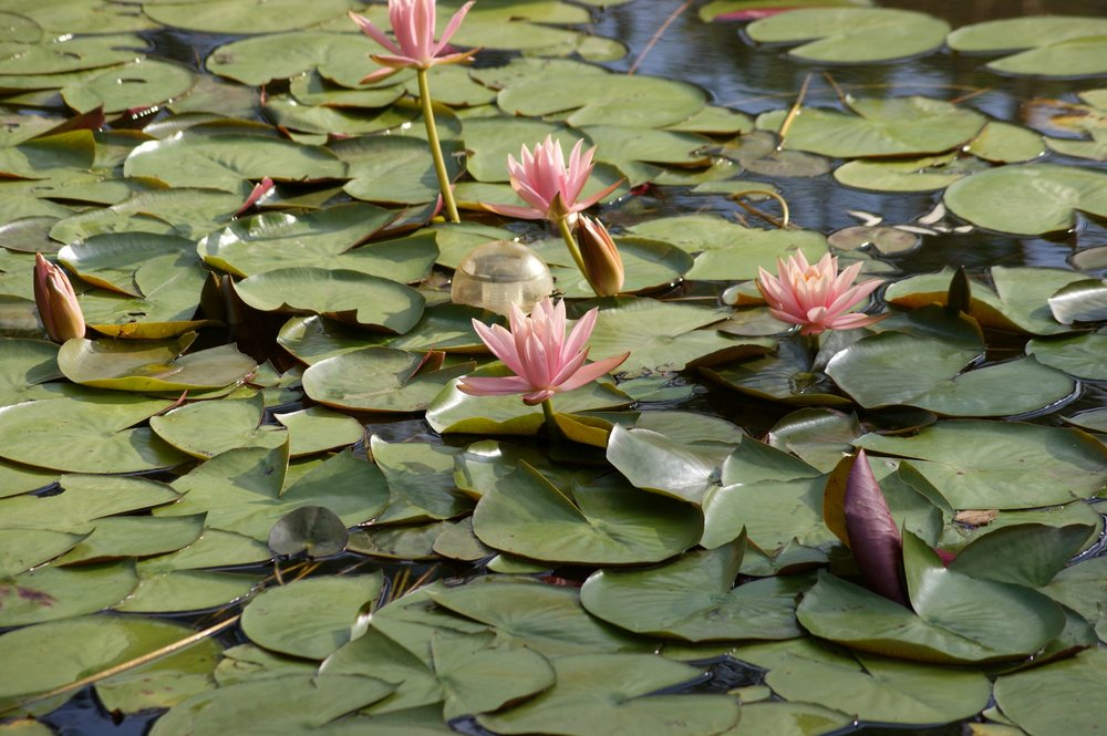 Water lilies on the dam.jpg