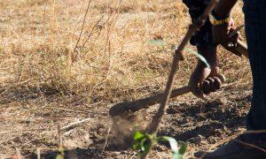 Nous avons planté cet été une dizaine d'arbres : des manguiers, des goyaviers, des papayers et des orangers. D'autres arbres seront plantés prochainement