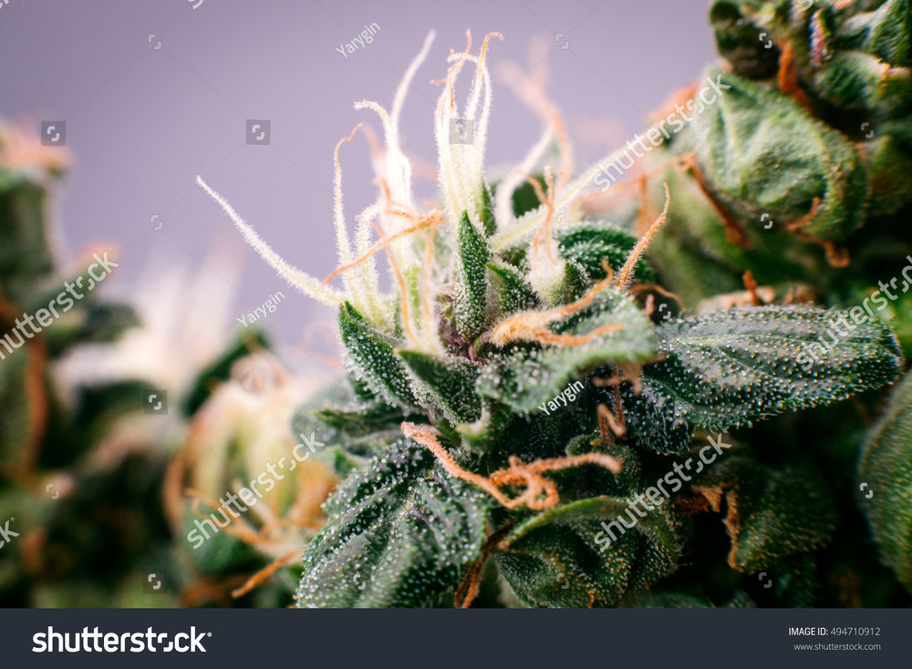 stock-photo-cannabis-marijuana-medicinal-bud-close-up-494710912.jpg