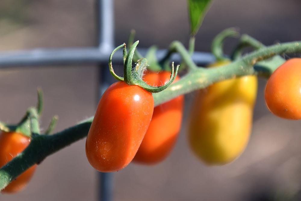 organic-tomatoes.jpg