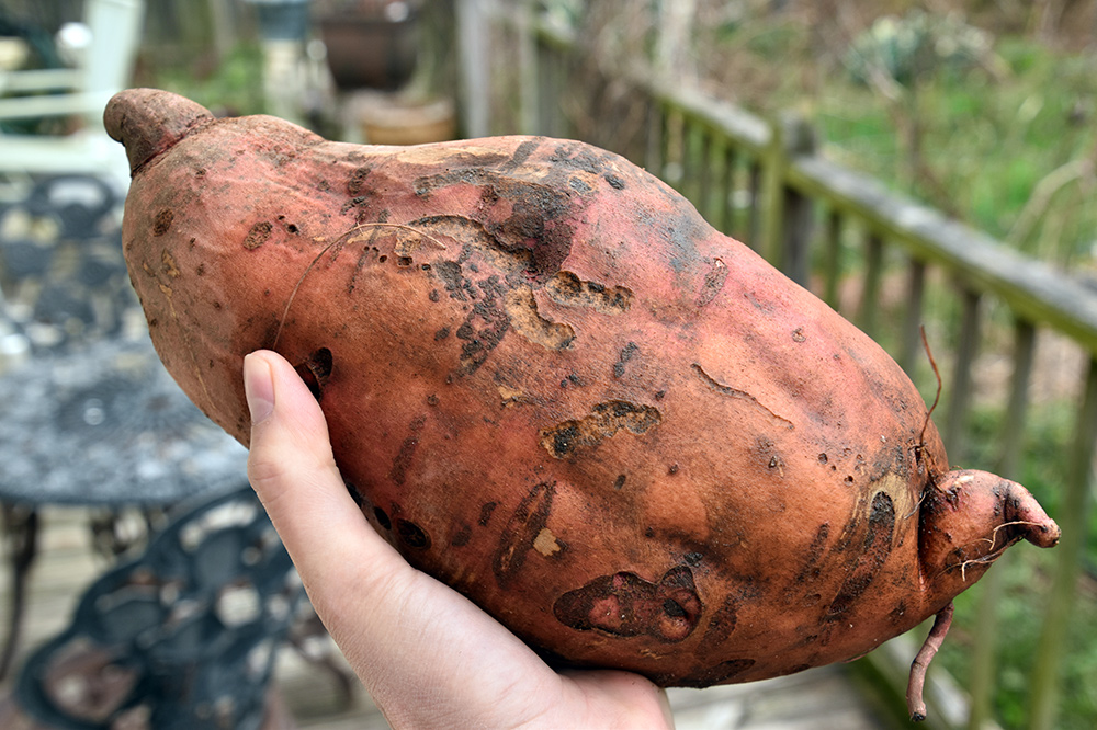 organic-sweet-potatoes.jpg