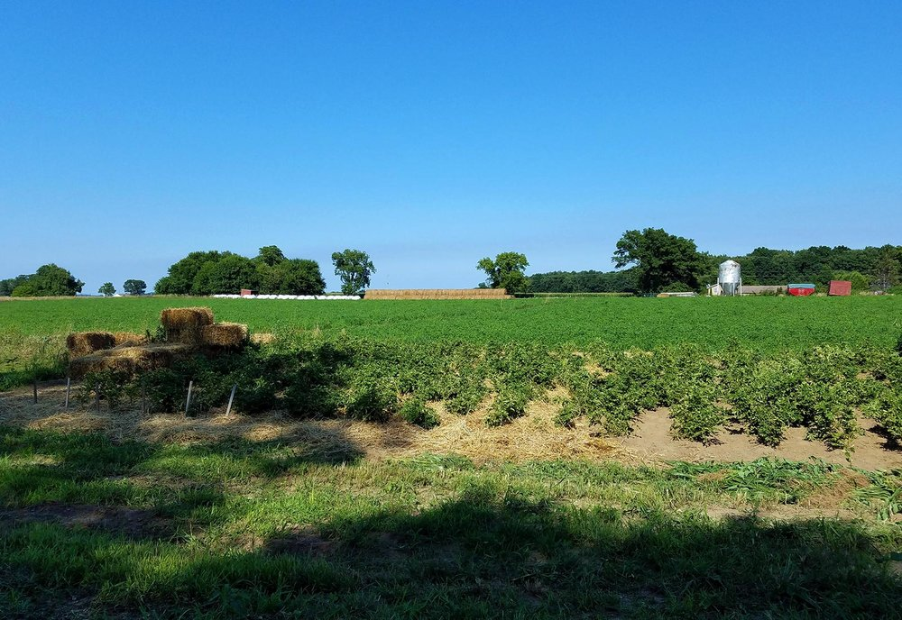 organic-potato-field.jpg