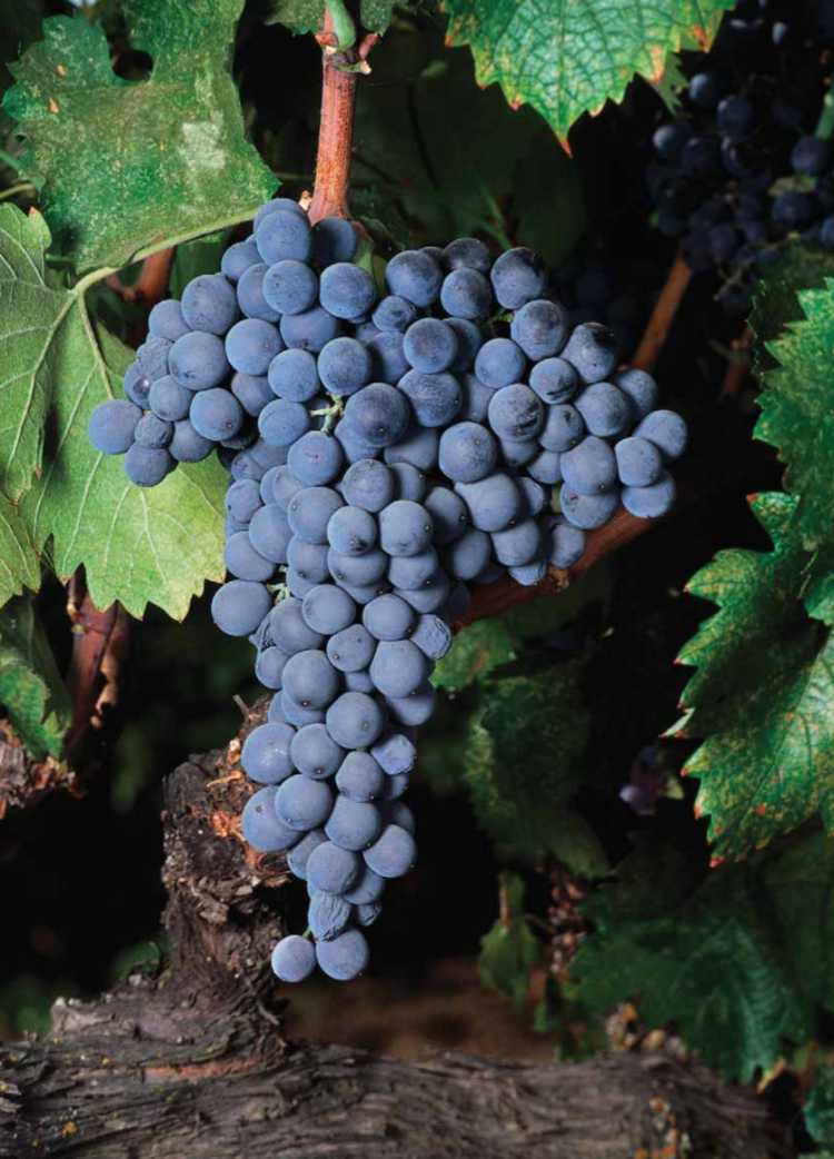 Mourvedre -