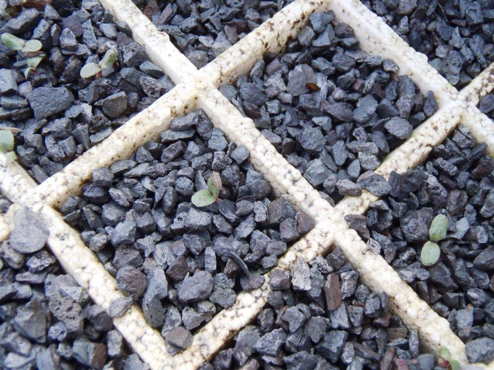 Stalite germination.jpg