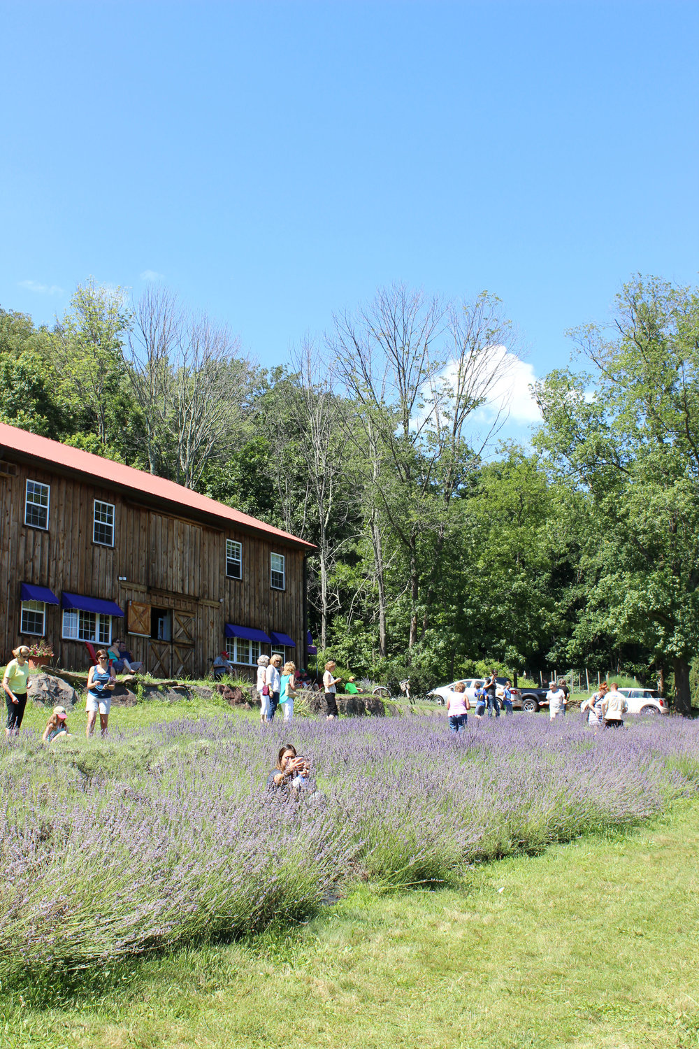 Peace Valley Lavender Farm, Bucks County, Pennsylvania