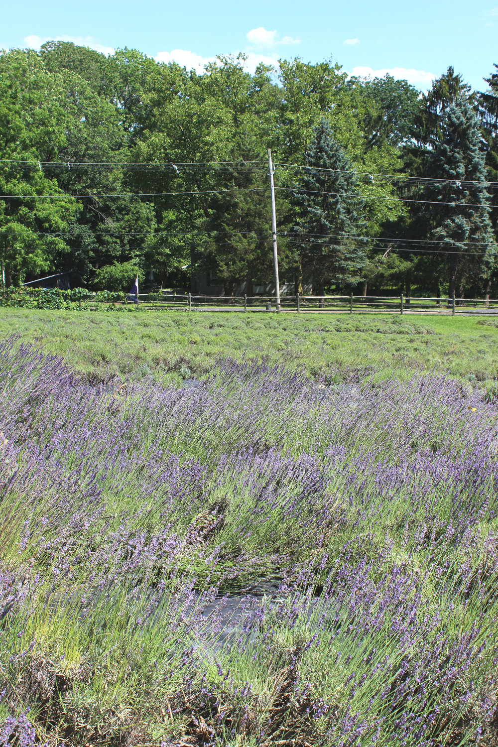 Peace Valley Lavender Farm, Pennsylvania