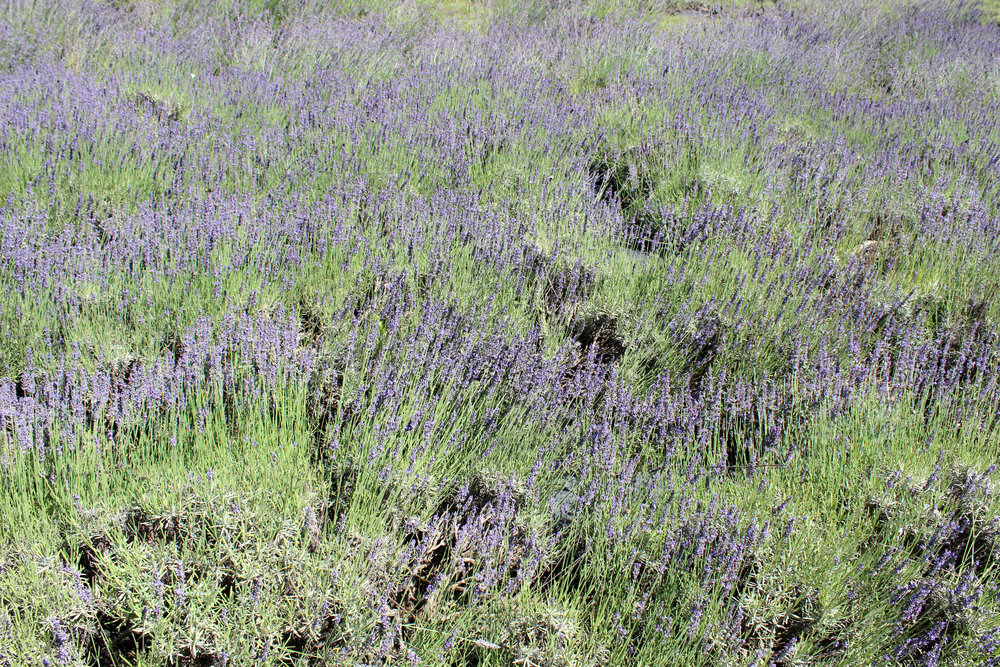 A Saturday Adventure to a Pennsylvania Lavender Farm