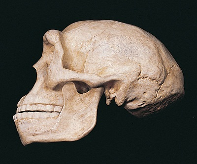 Reconstructed skull of  Sinanthropos Pekinensis