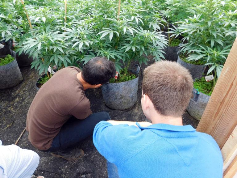 hifi-cannabis-plants-768x576.jpg