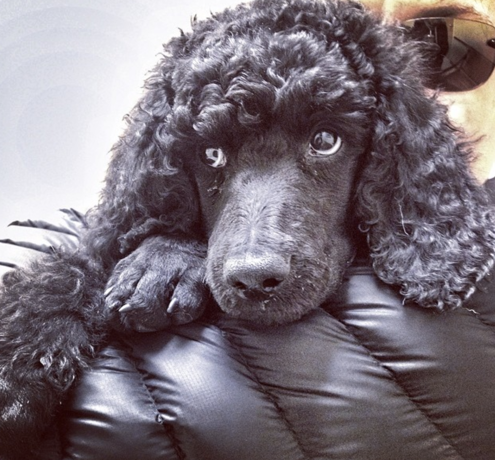 Baby Standard Poodle, Wallace at 8 weeks old