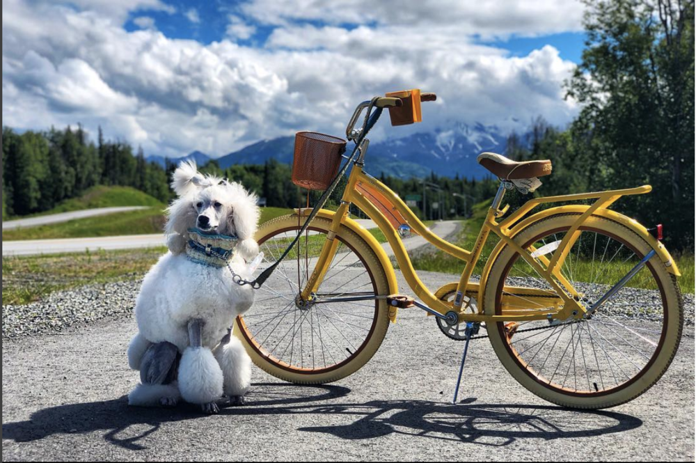Pali enjoys a bike ride early in the day during the Alaskan summer.