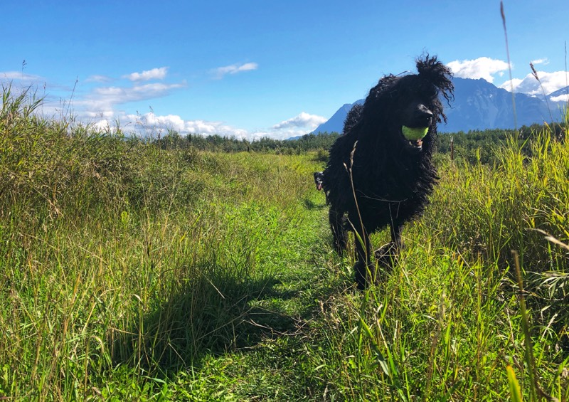 Wallace keeps his tennis ball close during our trail run.