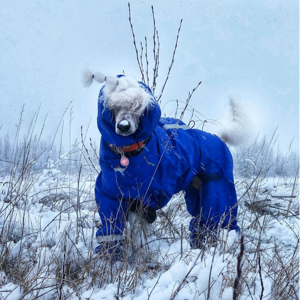 Bryce makes this snowsuit look good. This Poodle is not embarrassed by having to wear the suit!