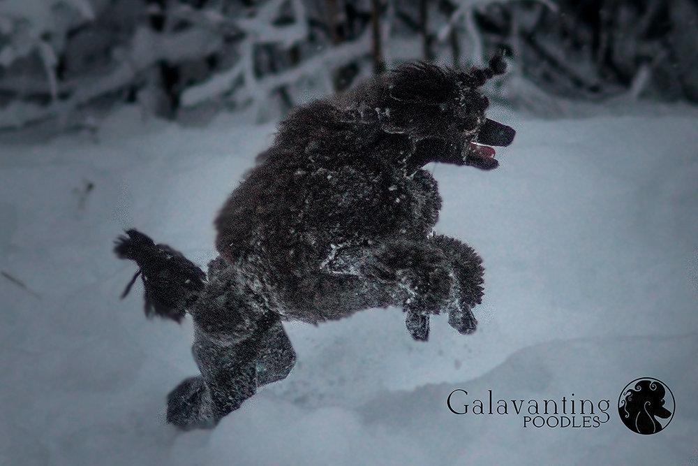 Nothing phases Standard Poodle Kluane. Winter is her favorite season!