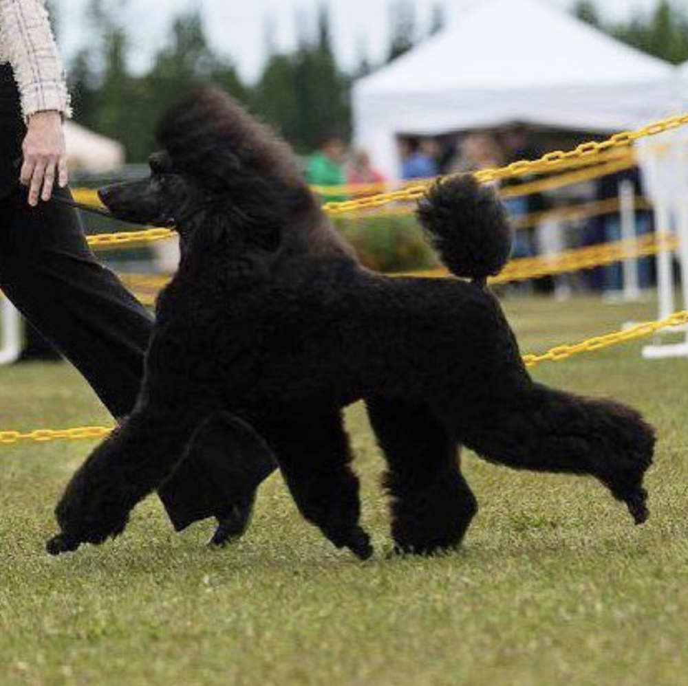 Kluane at one of her first shows. Pretty Poodle puppy just getting the hang of the AKC Dog Show world.