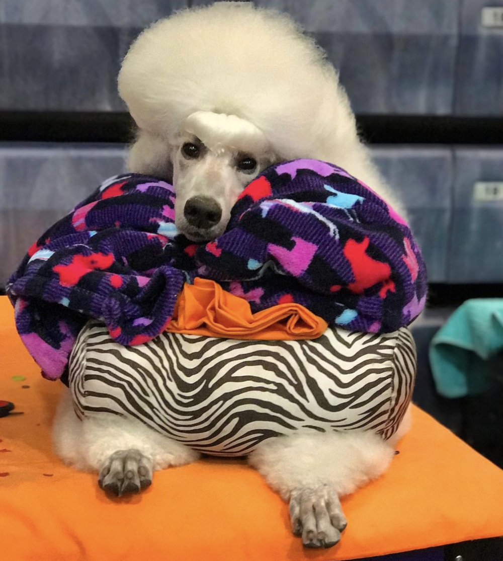 Cutie-Patootie Pali enjoying her rest time at a dog show… my Poodle puppy girl was about 8 months old in this picture.
