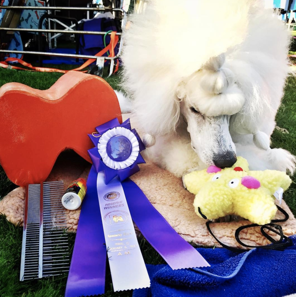 Bryce's Reserve Winners prize loot at the Palm Springs Dog Shows in California.