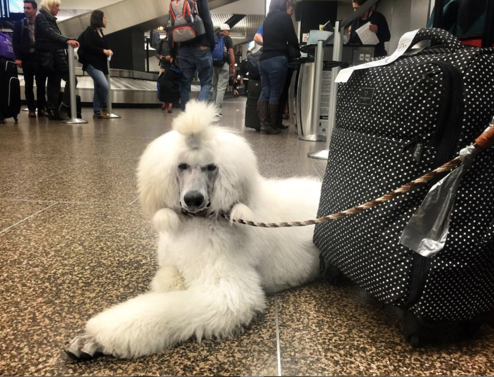 Sweet white Poodle puppy waiting at the airport check-in to fly to Seattle.