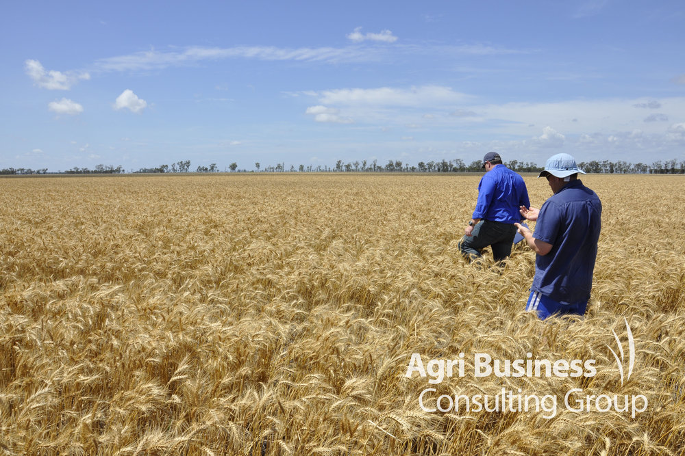 Inspection of a wheat crop damaged by hail – Dalby, QLD