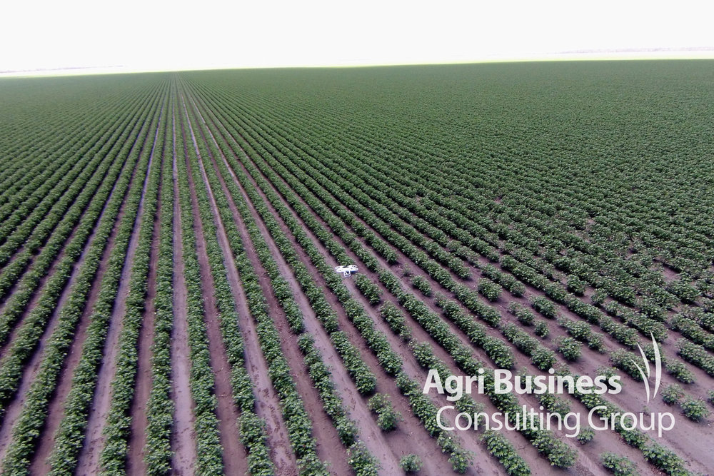 An ABCG drone photograph/mapping a young cotton crop affected by hail.