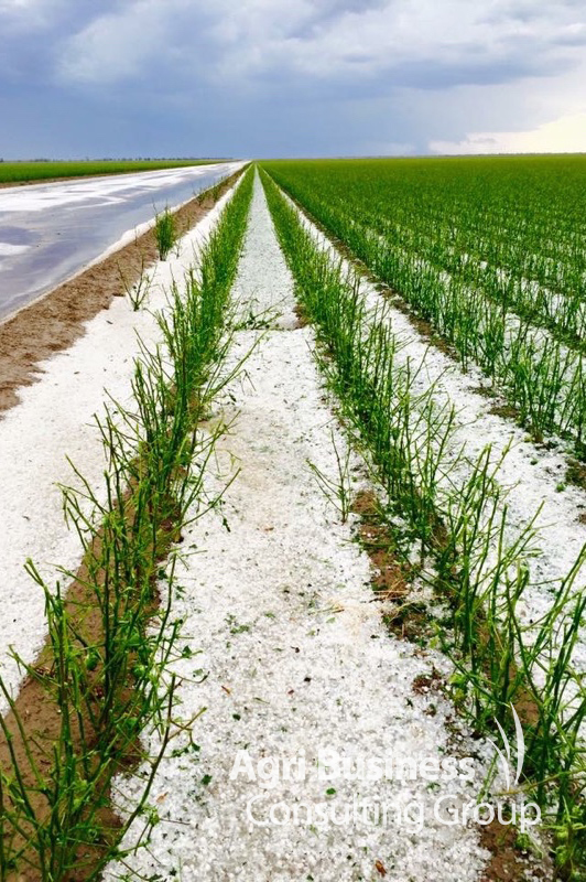 Cotton crop destroyed by hail - St George, QLD