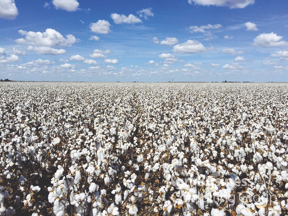 Darling Downs Cotton, Pre-Harvest.