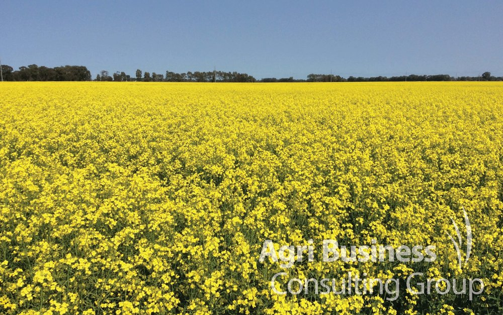 Canola in full bloom, NSW.