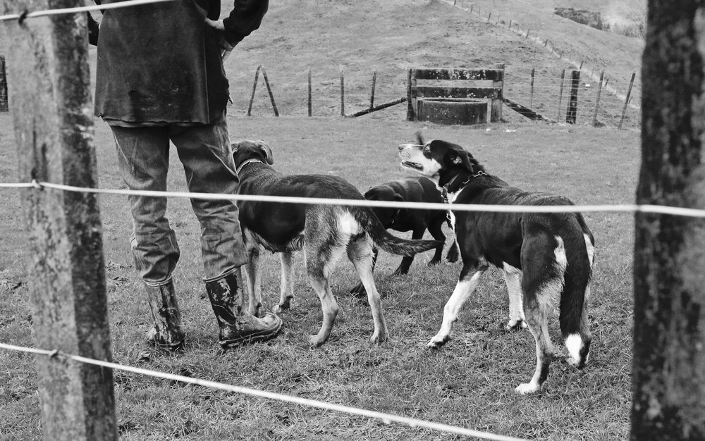 dogs-on-farm
