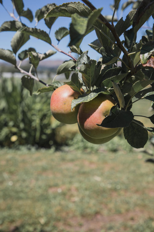 hawkes bay apples