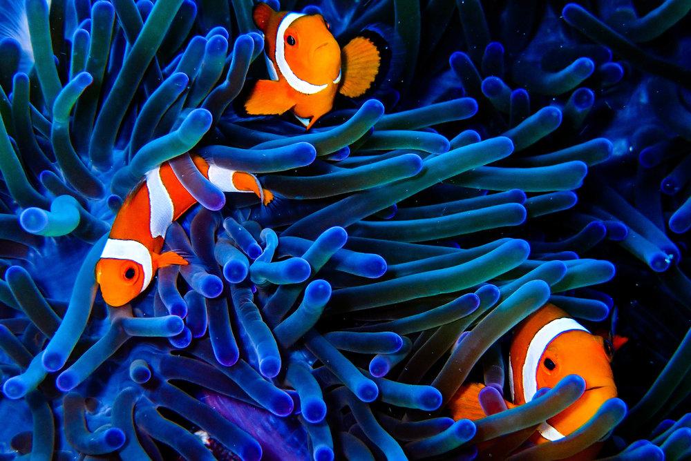 3Clownfish (1 von 1).jpg