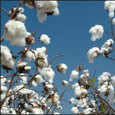 BOTANICAL  :   Cotton Protiens  They have a substance giving action, conferring body and saturation to the hair which prevents drying while repairing and restoring the hair fiber. Highly softening and nourishing