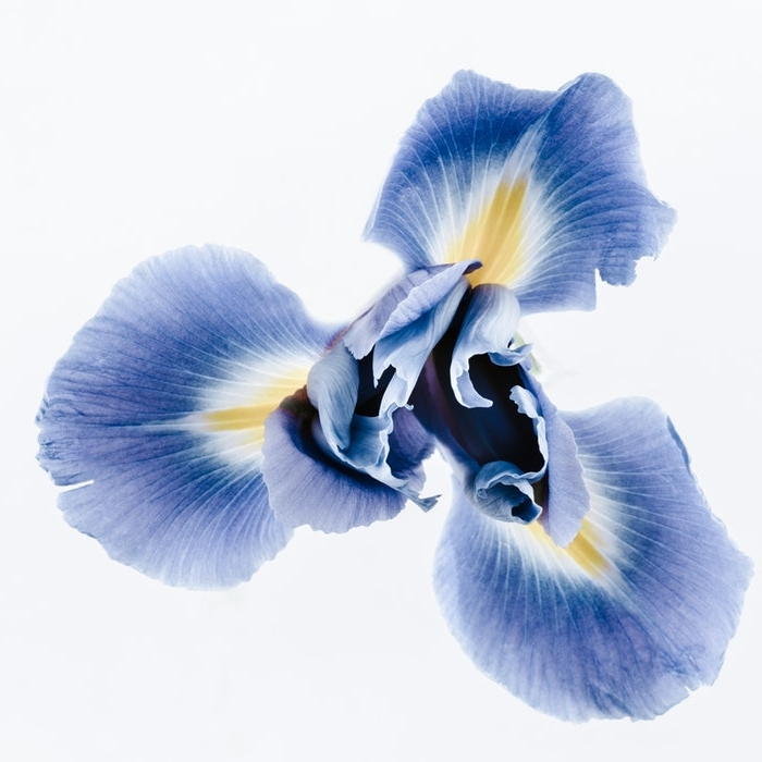 BIODYNAMIC IRIS   A flower rich in Phytoestrogens with toning, reinvigorating properties for lifeless, dull, damaged hair. The presence of rhizomes favours cell renewal and regeneration.