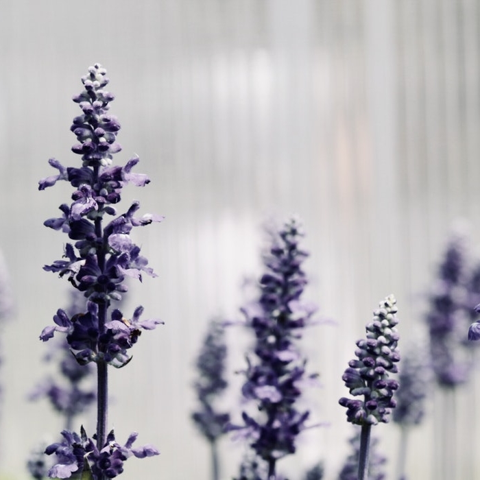 BIODYNAMIC LAVENDAR   Regenerating and rebalancing for the scalp, damaged hair, and body in general. Performs refreshing, toning and soothing actions on scalp and hair. Its aromatherapeutic fragrance induces relaxation and tranquility.