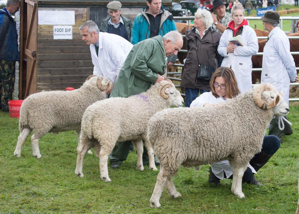sheep judging.jpg