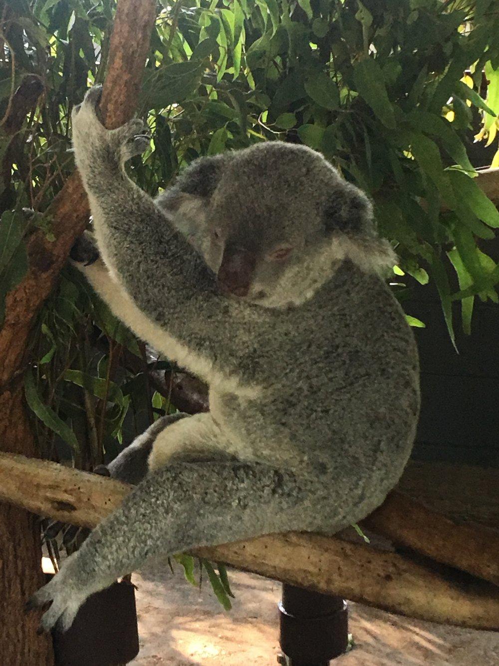Dozy Koala