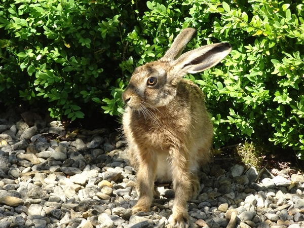 guest-hare.JPG