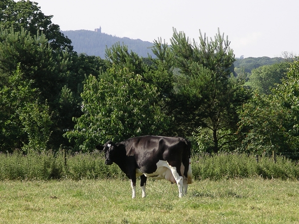 cow-with-alfred's-tower-behind.jpg
