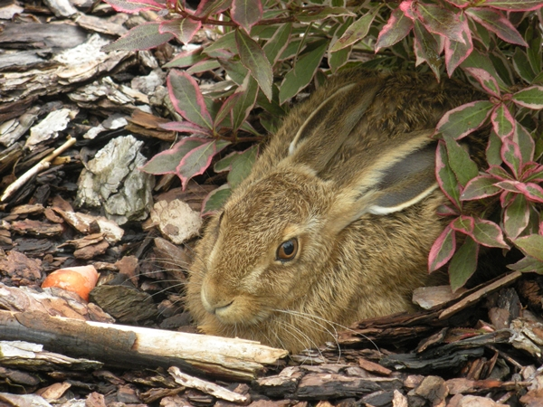 wild-hare.JPG