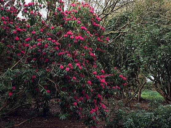 Stourhead Rhodo pink tree.JPG