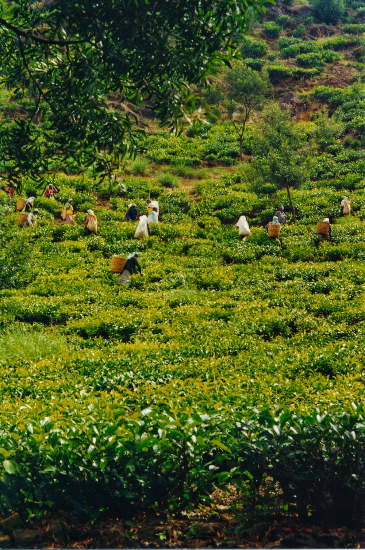 Tea pluckers in Nuwara Eliya.jpg