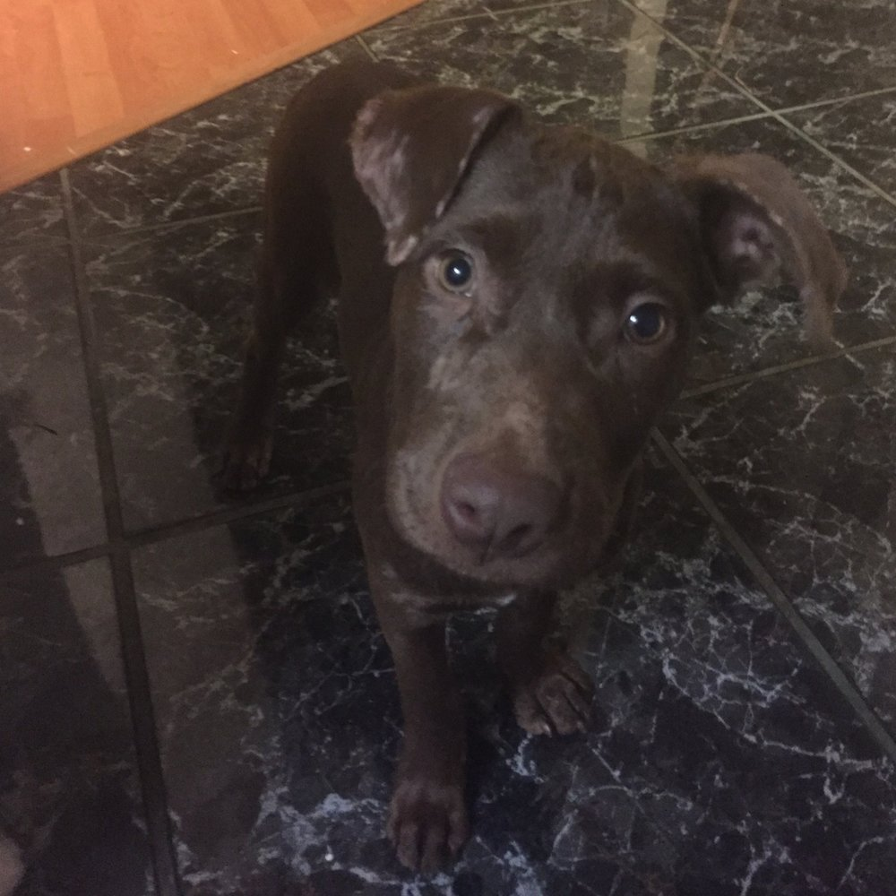 Amelia - 2.5 month old Chocolate Lab xix