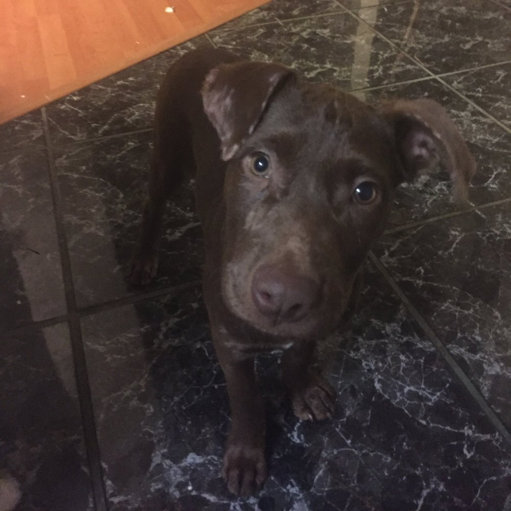 Amelia - 2.5 month old Chocolate Lab mix