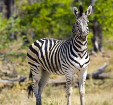 zebra-africa-wildlife-botswana.jpg