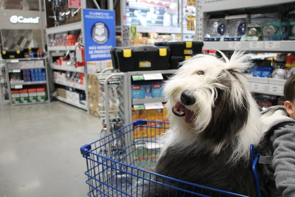 Vicky the sheepdog  ya visitó  LOWE'S MEXICO