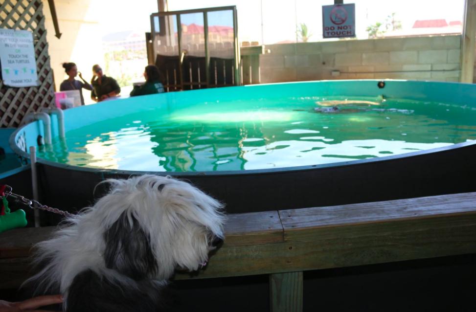 - Te recomendamos visitar el centro de conservación de tortugas marinas, en la Isla del Padre en Texas. En donde tienen a diferentes tortugas que están en proceso de rehabilitación para volver a ser liberadas en el océano. Además este sitio es pet friendly, se llama Sea Turtle Inc.