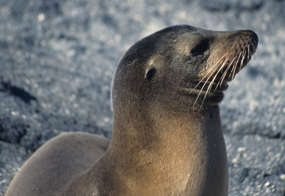 A Galápagos sea lion. Photo courtesy Wikimedia Commons.