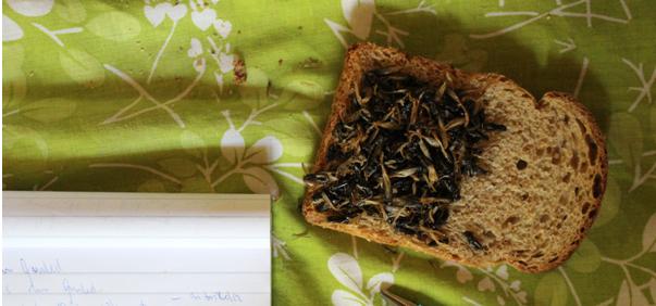 Termitsandwich vist til  Nordic Food Lab  af  Wafula ved Bio-Gardening Innovations i Vihiga, Kenya (Fotokilde:  Nordicfoodlab   (CC BY-SA 4.0)