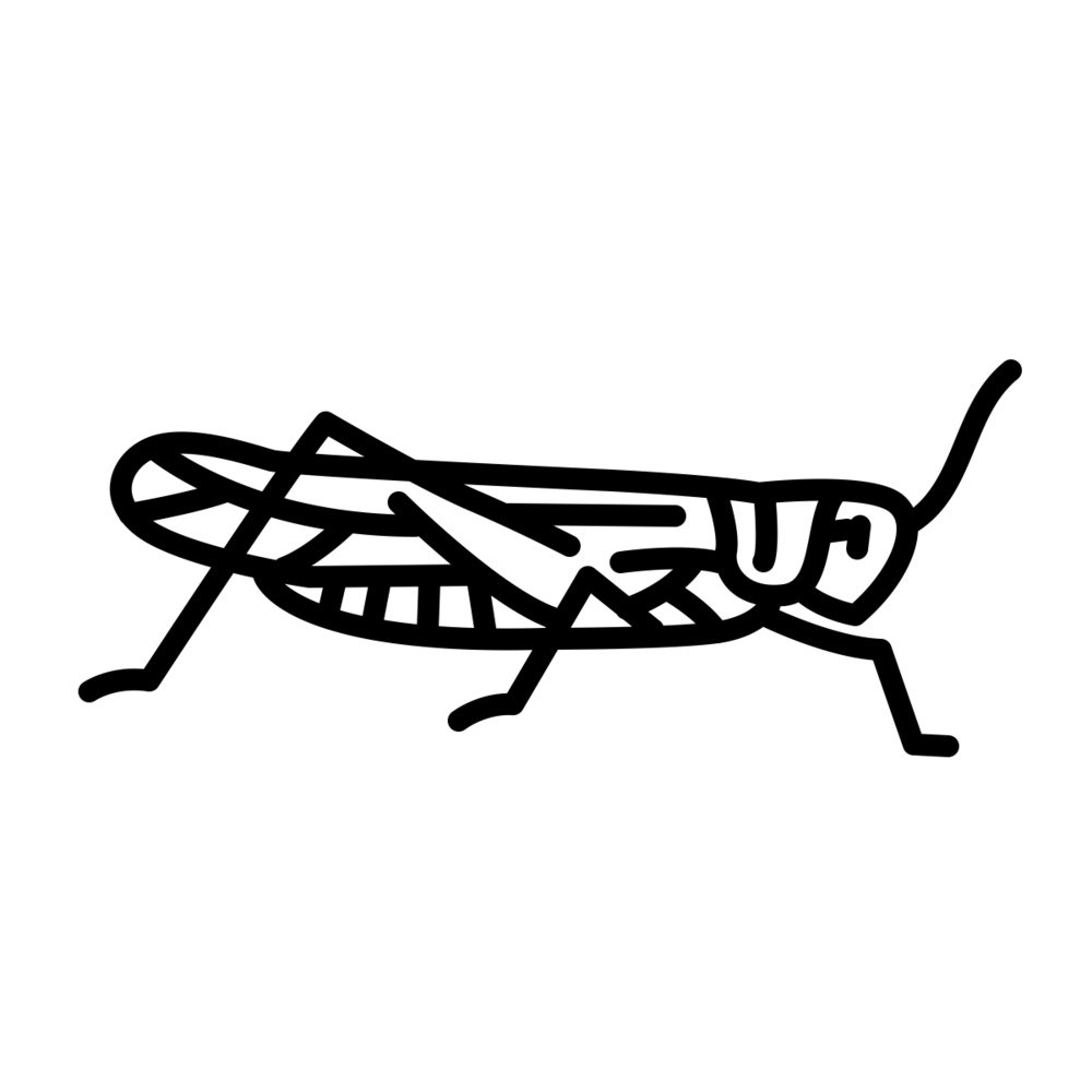 Græshopper (Locusta migratoria) - Græshopper er en gruppe insekter med over 20.000 forskellige arter og en af de mest almindelige spiselige insekter.Græshopper er springfyldt med protein og spises b.la. i Asien hvor de lynsteges og sælges som street food. Græshopper er også populære i Mexico, hvor de kaldes