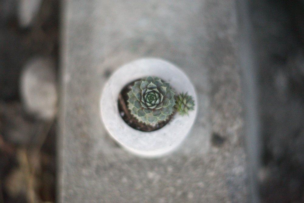 succulent in concrete pot